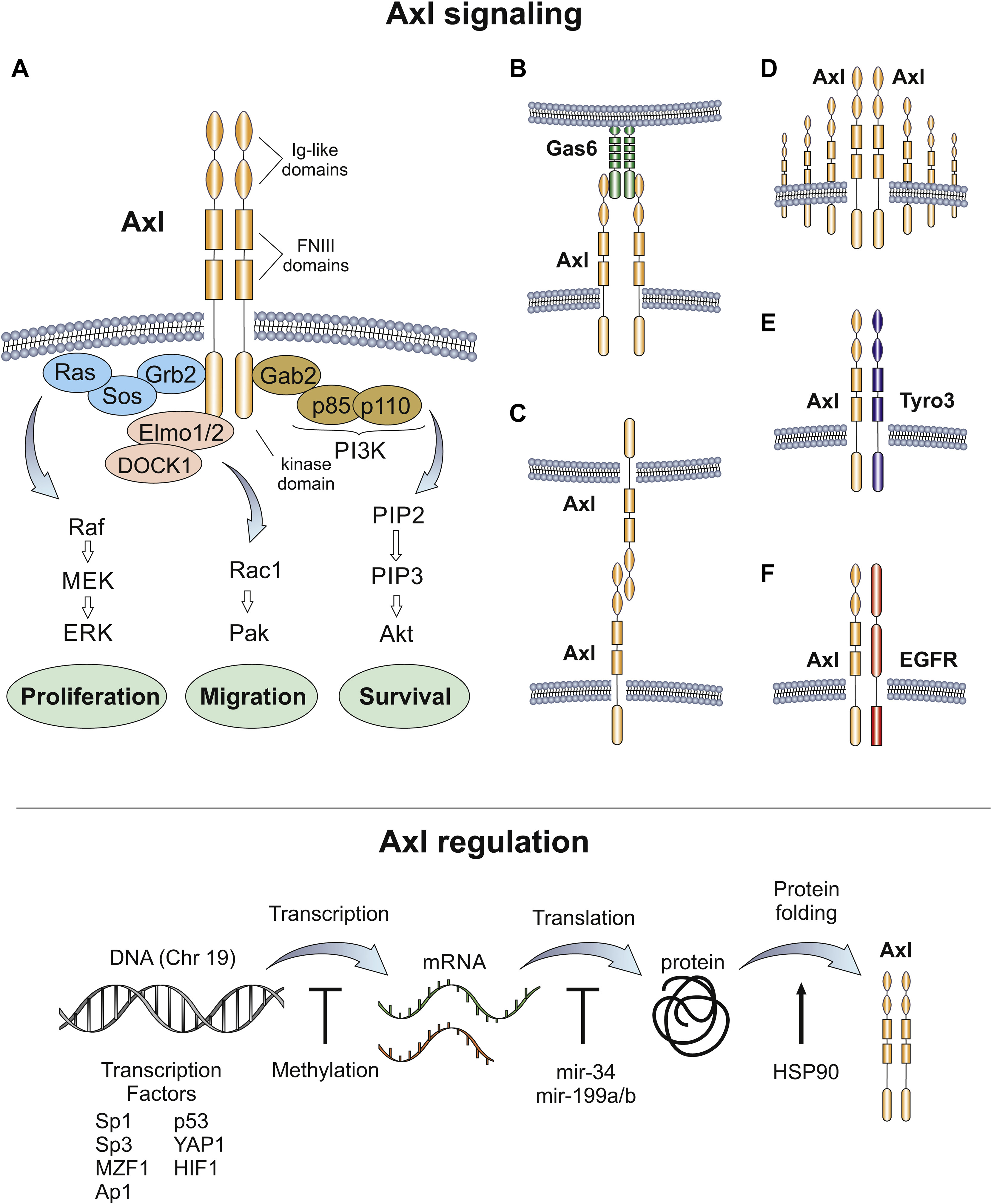 Axl Receptor Axis: A New Therapeutic Target In Lung Cancer